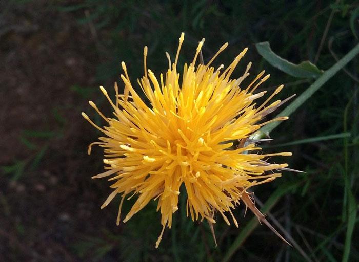 Flor amarilla con forma de mandala en la naturaleza