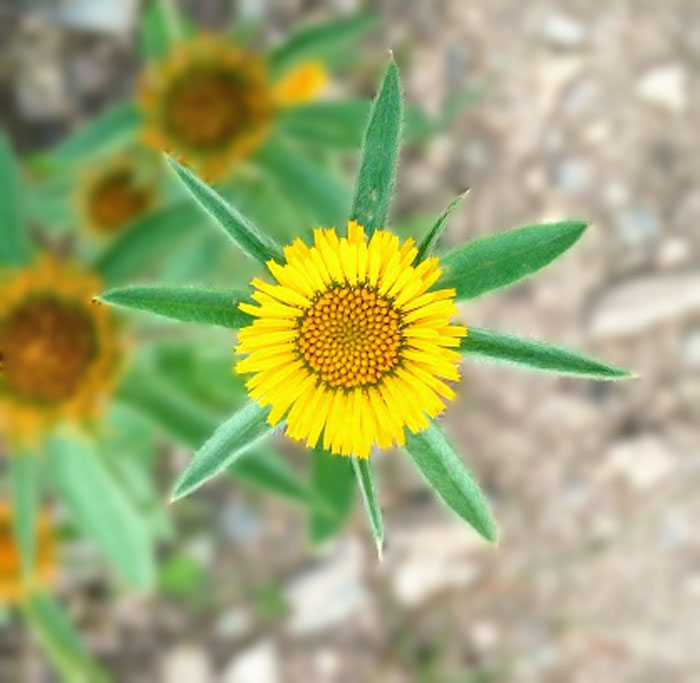 Margarita amarilla flor mandala