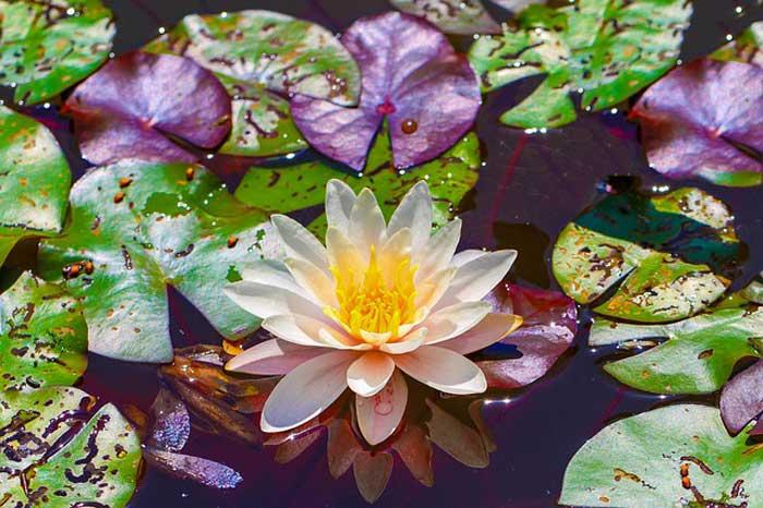 Flores de loto en la meditación