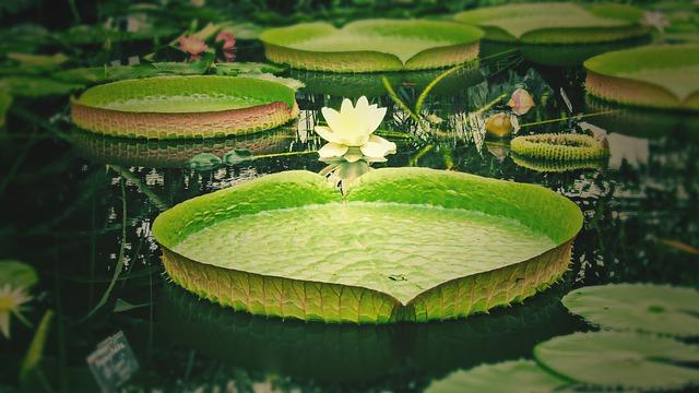 Los orígenes de la flor de loto